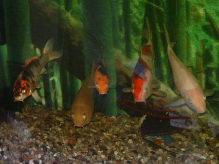 5 koi im aquarium