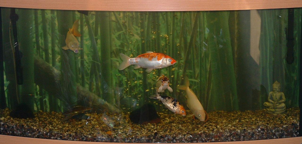 1 das aquarium aquariumlog by kamillo koi und aquaristik for Koi mit goldfischen