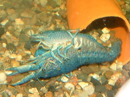 blue florida lobster geschlechtsakt
