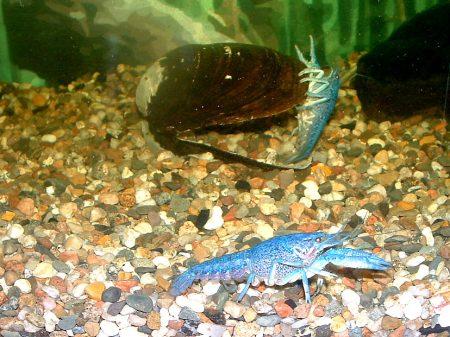 blaue flusskrebse