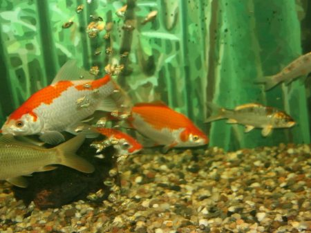 goldfische, koi