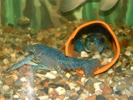 blauer weiblicher flusskrebs