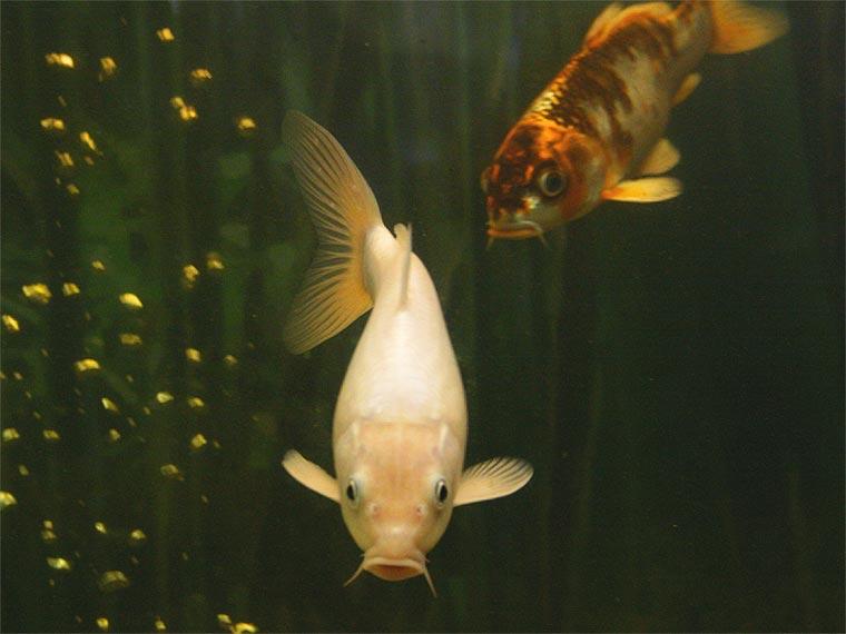 Gl ck aquariumlog by kamillo koi und aquaristik for Fressen kois kleine fische