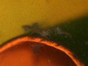 blaue flusskrebse larven
