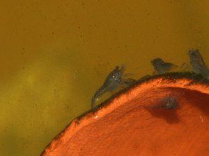 blauer flusskrebs larve