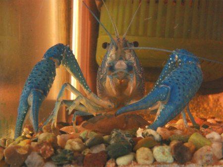 blauer Flusskrebs, Brudermörder