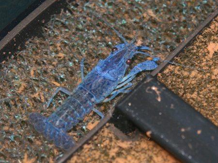 blauer Flusskrebs