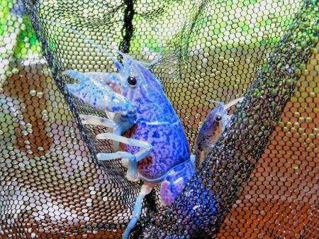 Blue florida lobster aquariumlog by kamillo koi und for Goldfische vermehrung