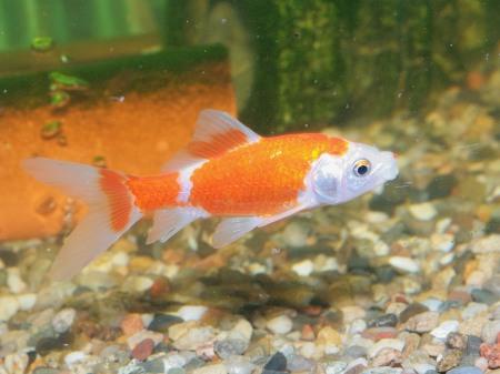 Sarasa Goldfisch