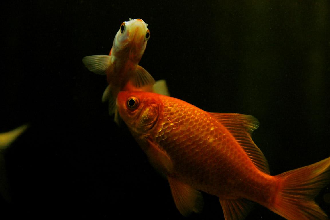 Kamillo aquarium koi flusskrebse for Aquarium fische im teich