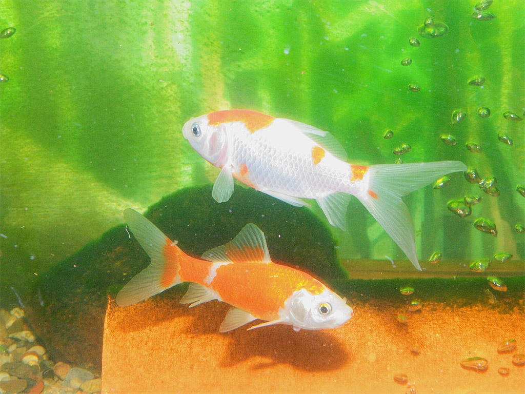 Goldfische aquariumlog by kamillo koi und aquaristik for Goldfische im aquarium