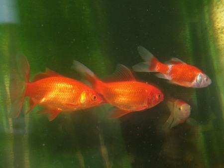 Goldfischhatz