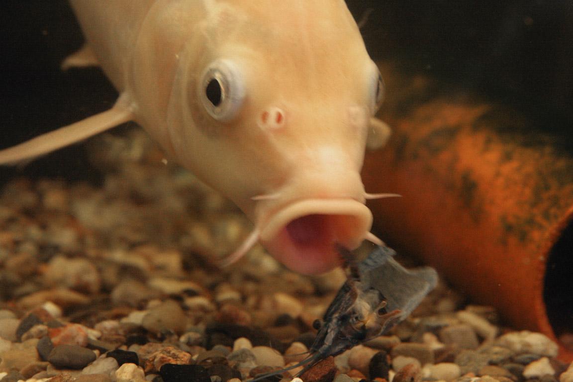 Krebse aquariumlog by kamillo koi und aquaristik for Koi und goldfische