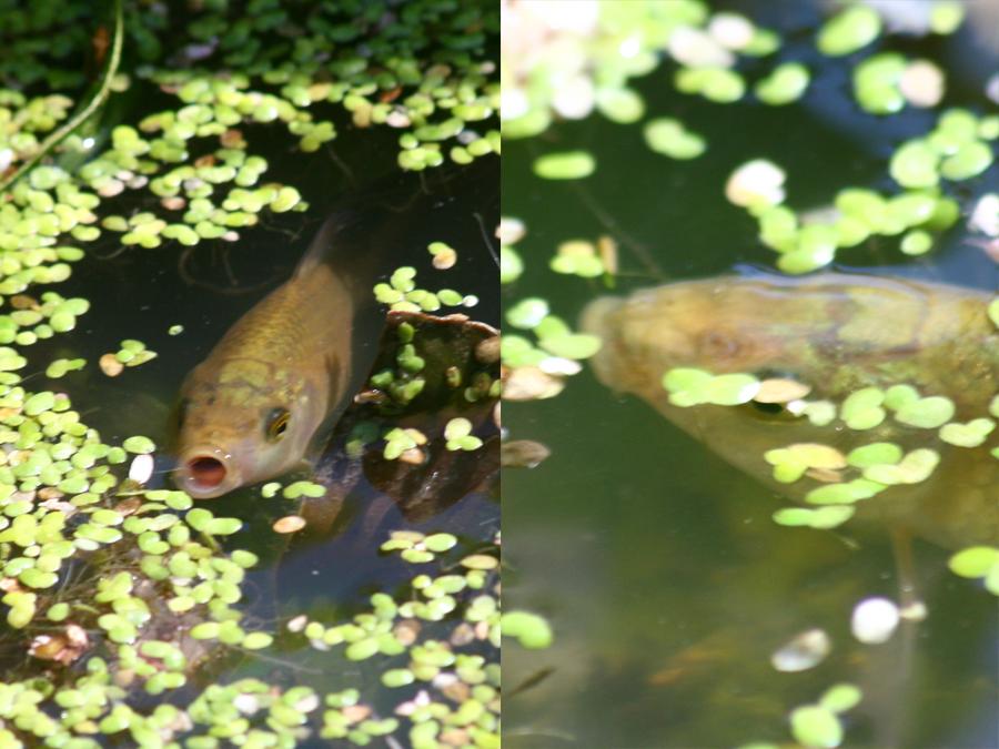 Fischarten aquariumlog by kamillo koi und aquaristik for Fischarten teich