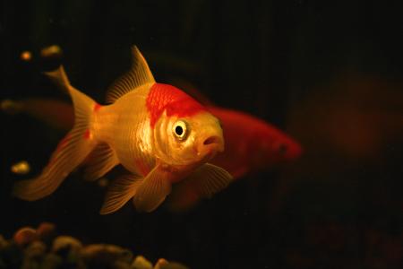 goldfischohnebarten