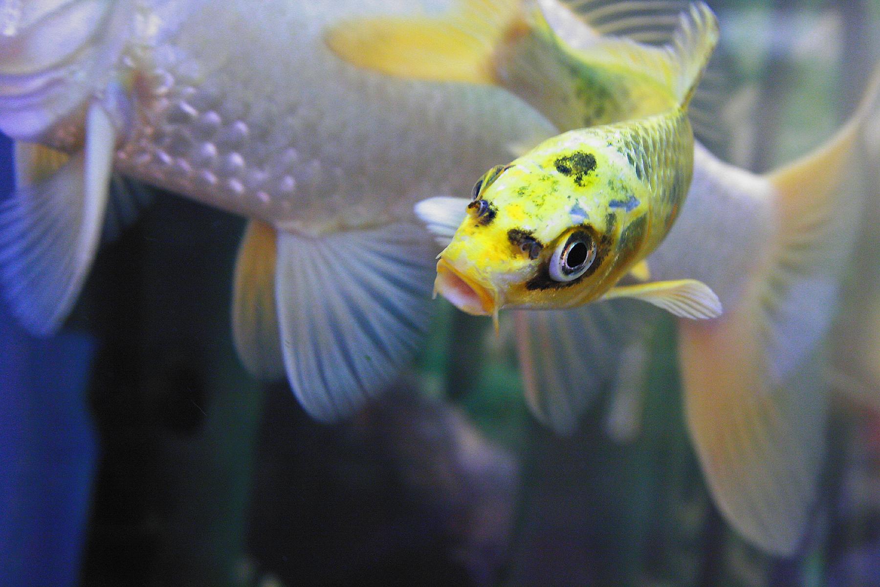 Goldfische aquariumlog by kamillo koi und aquaristik for Koi im aquarium