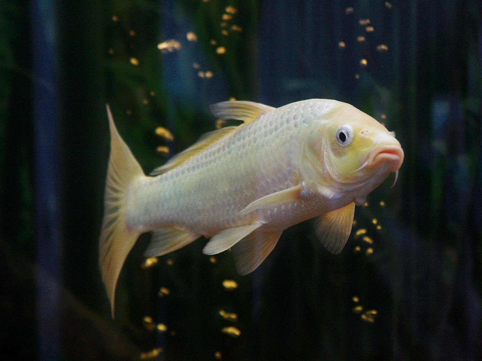 Koi hat weisse blasen for Fischbesatz teich