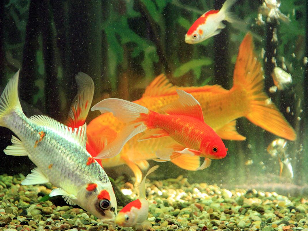 Kamillo aquarium koi flusskrebse for Koi und goldfische in einem teich