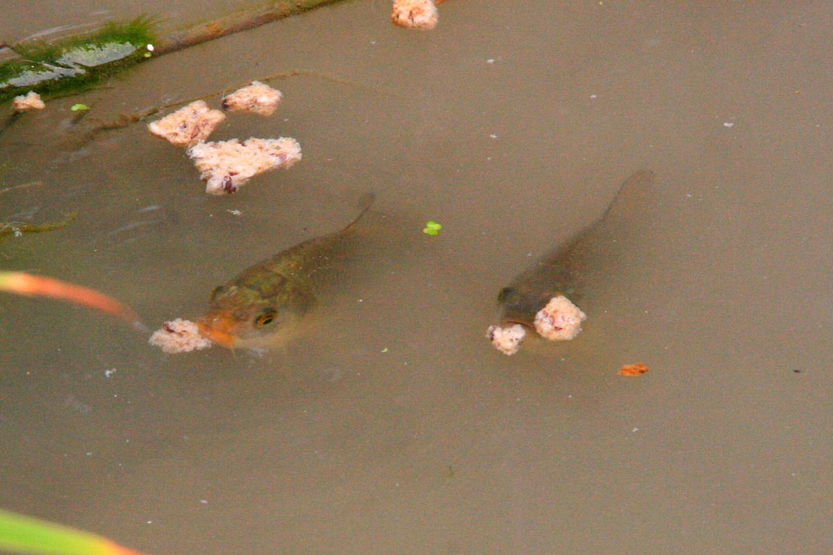 Kamillo aquarium koi flusskrebse for Aquarium im teich