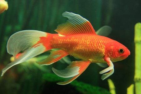 Paarungszeit der goldfische aquariumlog by kamillo koi for Koi und goldfische