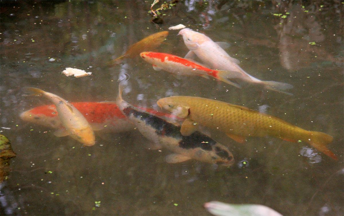 Koi und goldfische im teich for Kois und goldfische in einem teich