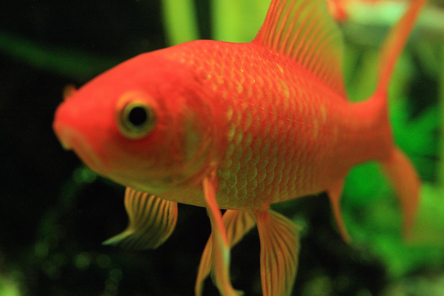 Goldfische im teich koi und goldfische im teich for Wassertiere teich